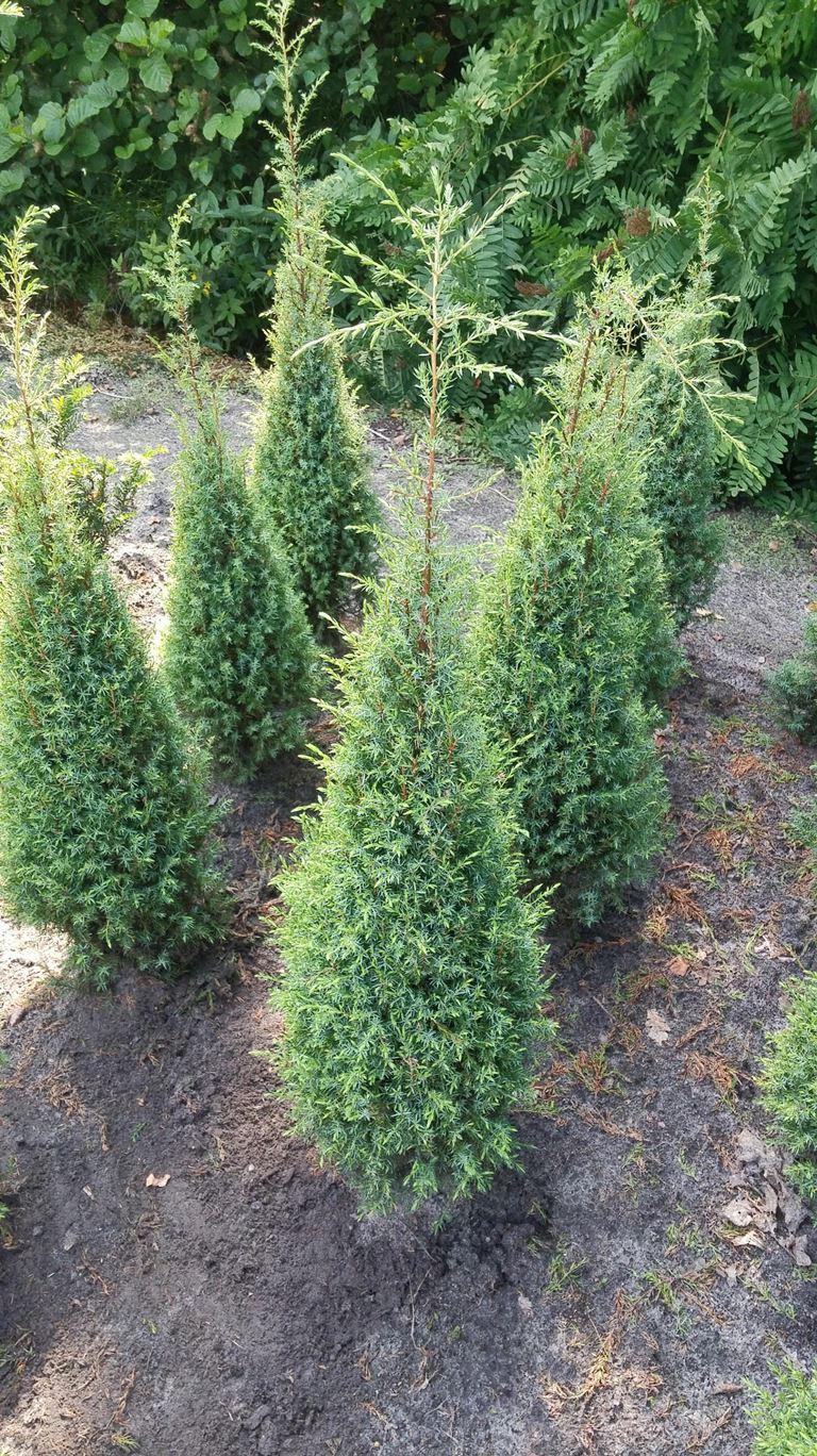 juniperus communis hibernica kleka rasadnik markovi. Black Bedroom Furniture Sets. Home Design Ideas