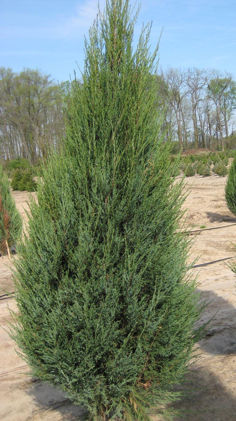 Juniperus virginiana skyrocet