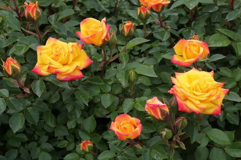 Mini ruže