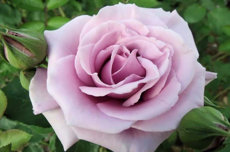 Ruže čajevke