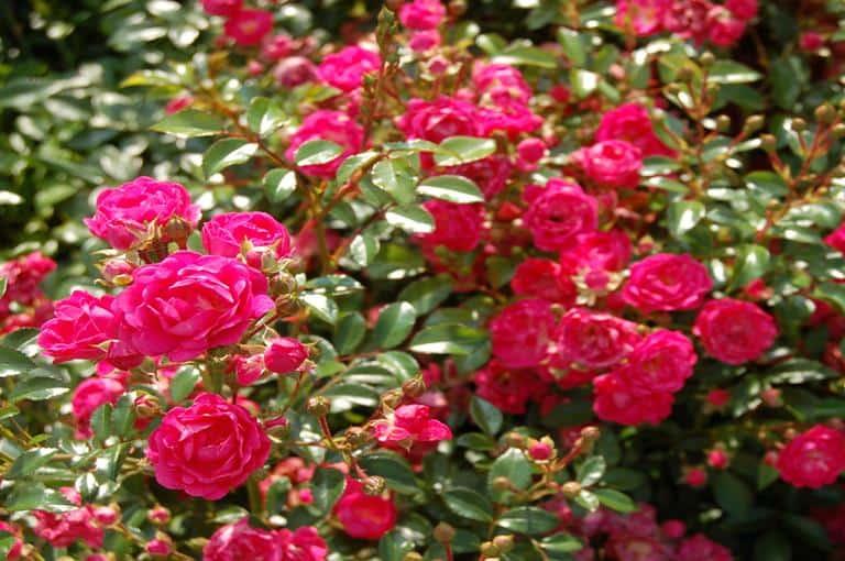 Ruže polijante